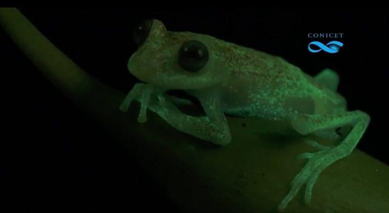 Por primera vez se encuentra una rana con fluorescencia